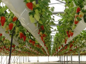 Large scale or small, the principles of growing hydroponic strawberries are the same
